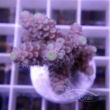Acropora tenuis Indonésie acro3832