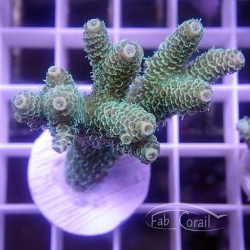 Acropora millepora Indonésie acro3833