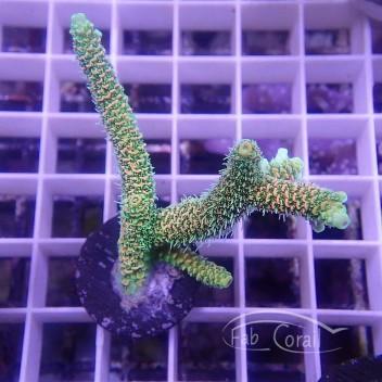 Acropora millepora Indonésie acro3836