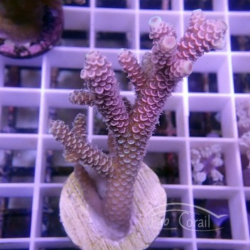 Acropora Millepora Indonésie acro3799