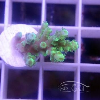 Acropora Millepora Indonésie acro3840