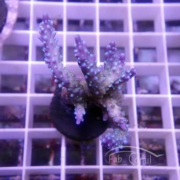 Acropora valida Indonésie acro3850