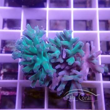 Acropora valida Indonésie acro3851