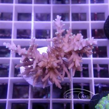 Acropora carduus Indonésie acro3854