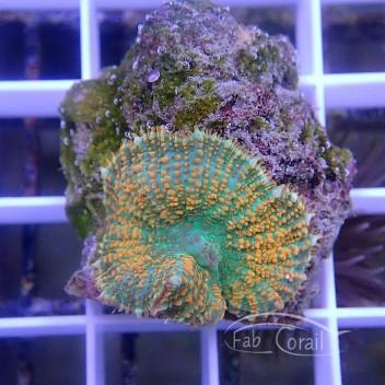 Rhodacthis ultra disco311