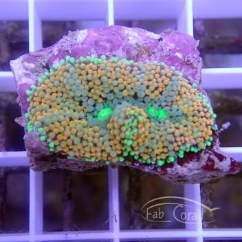 Ricordea floridae RF313