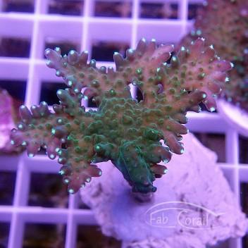 Acropora carduus Indonésie acro3856