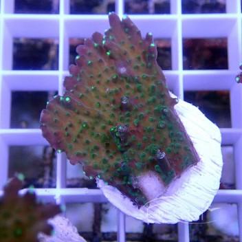 Acropora Efflorescens Indonésie acro3857