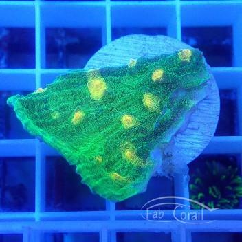 Mycedium space Invader echino195