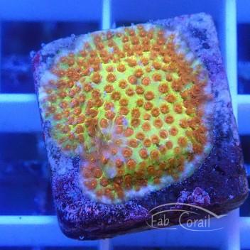 Psammocora polype orange