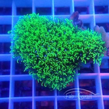 Pachyclavularia vert pachy107