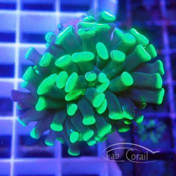 Euphyllia euphy1371