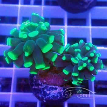 Euphyllia euphy1372