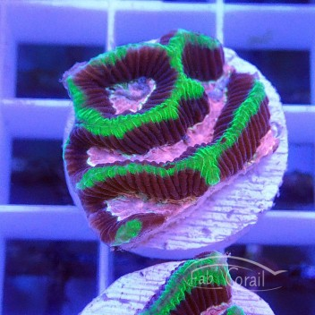 Platygira rose et vert platy119