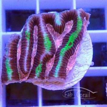 Platygira rose et vert platy123