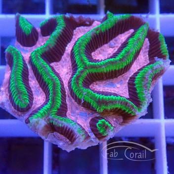 Platygira rose et vert platy125