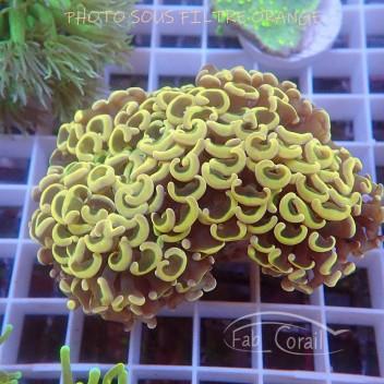 Euphyllia ancora orange special filtre Indonésie euphy1383