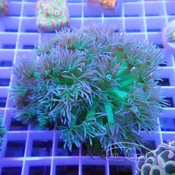 Goniopora rouge coeur vert Australie gonio295