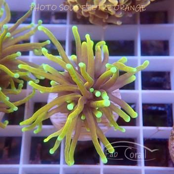 Euphyllia ancora orange special filtre Indonésie euphy1384