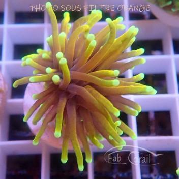 Euphyllia glabrescens special filtre Indonésie euphy1388