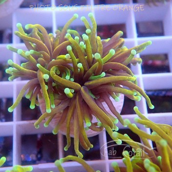Euphyllia glabrescens special filtre Indonésie euphy1389