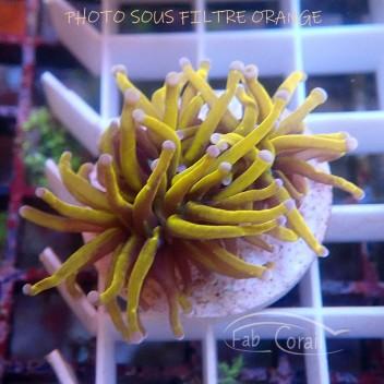 Euphyllia glabrescens special filtre Indonésie euphy1391